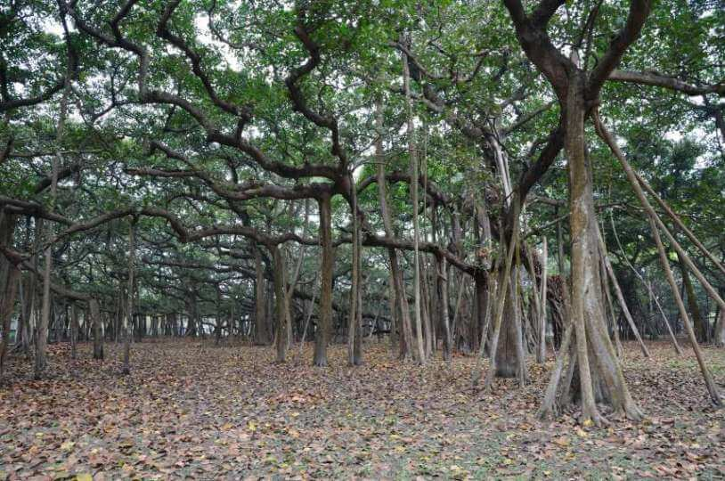 Image of The Great Banyan Tree in the Botanical Garden, Shibpur, Howrah