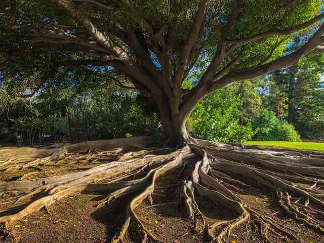 banyan trees root spreading